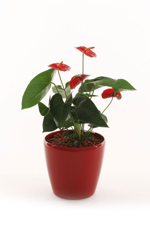 Anthurium Desktop