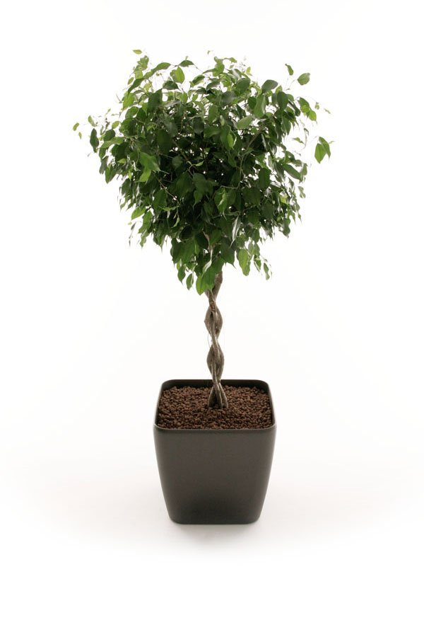 Ficus Braided Stem