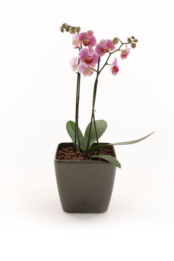 Orchid Desktop