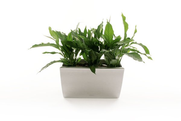Spathiphyllum Trough
